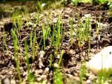 Купит Посевной газон